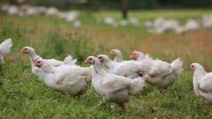 Butcher Box Chickens